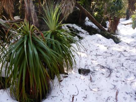 Snow and pandanis