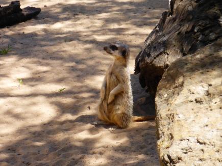 Pose for me Meerkat